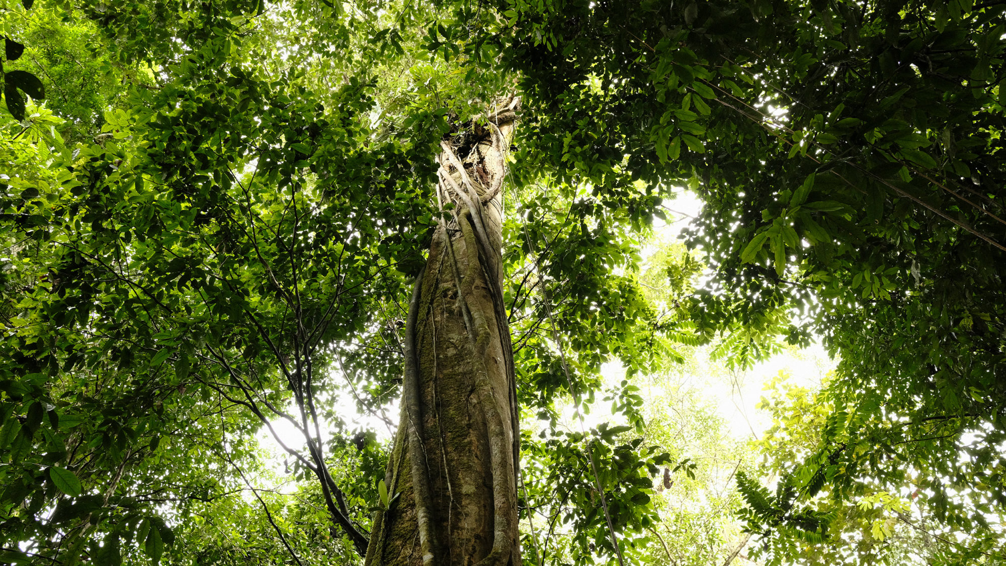Embrace of the Rainforest